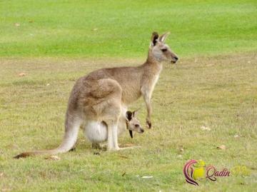 Avstraliyanın fərqli dünya olduğunu göstərən xüsusiyyətlər
